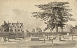 The Great Cedar Tree at Illington f.141